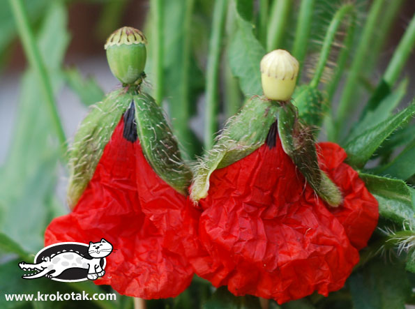 Papaver princesses